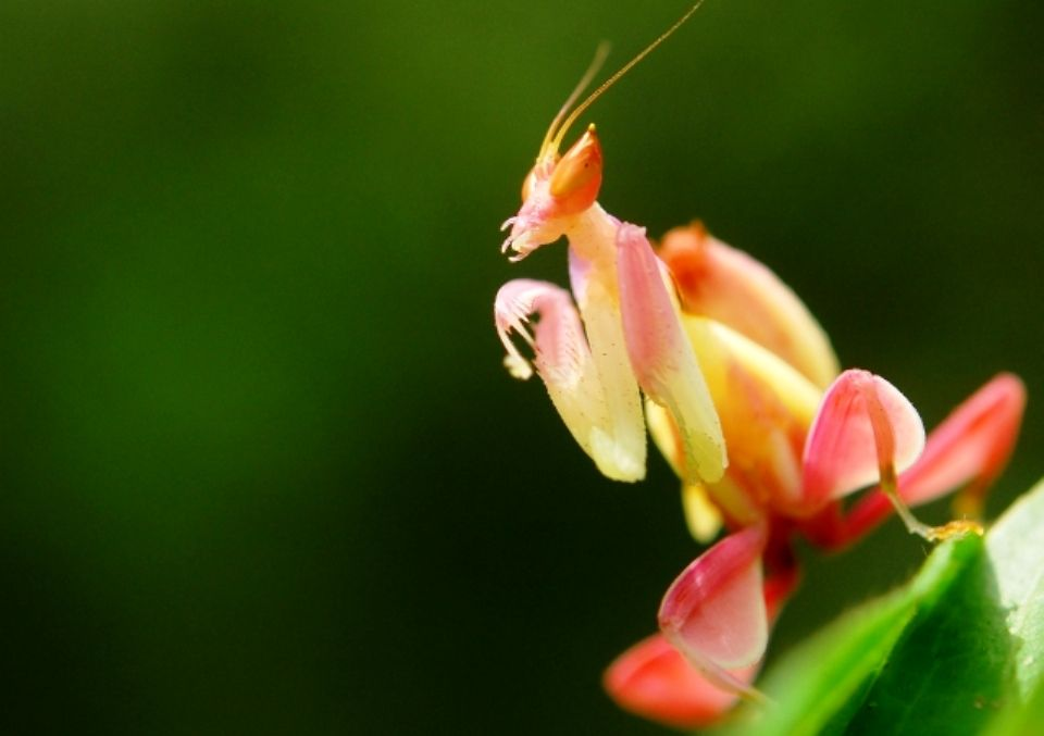 Mantis Orquidea Hymenopus Coronatus Orchid Mantis Orchid Images Praying Mantis