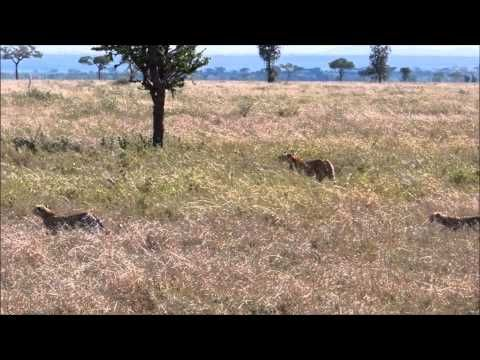 #Cheetah Mom  3 Cubs. Check out my Serengeti #safari blog wp.me/s3e7T2-safari
