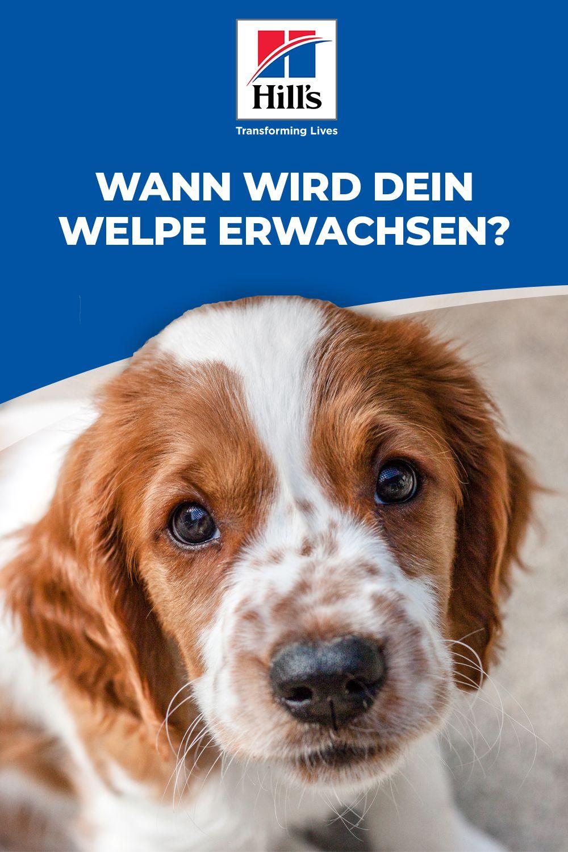 Hundewissen Wann Wird Dein Welpe Ein Erwachsener Hund Welpen Hunde Welpen Erziehung Hunde Welpen