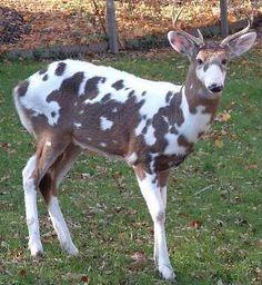 Piebald Or Pinto Deer Deer Pinterest Animal Albino And Wildlife