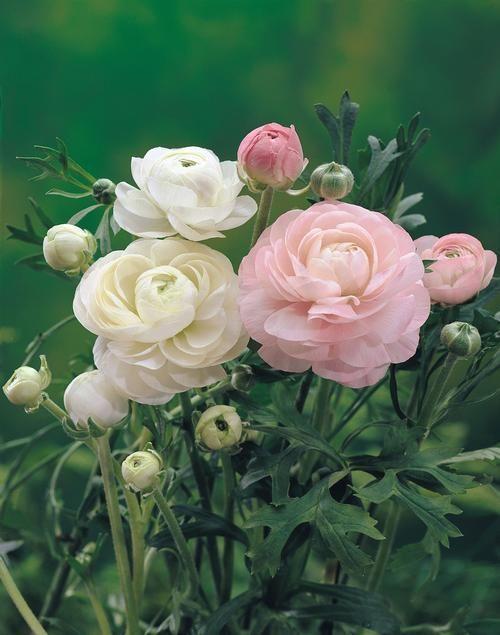 All About Ranunculus Ranunculus Schone Blumen Blumen Deko Blumen