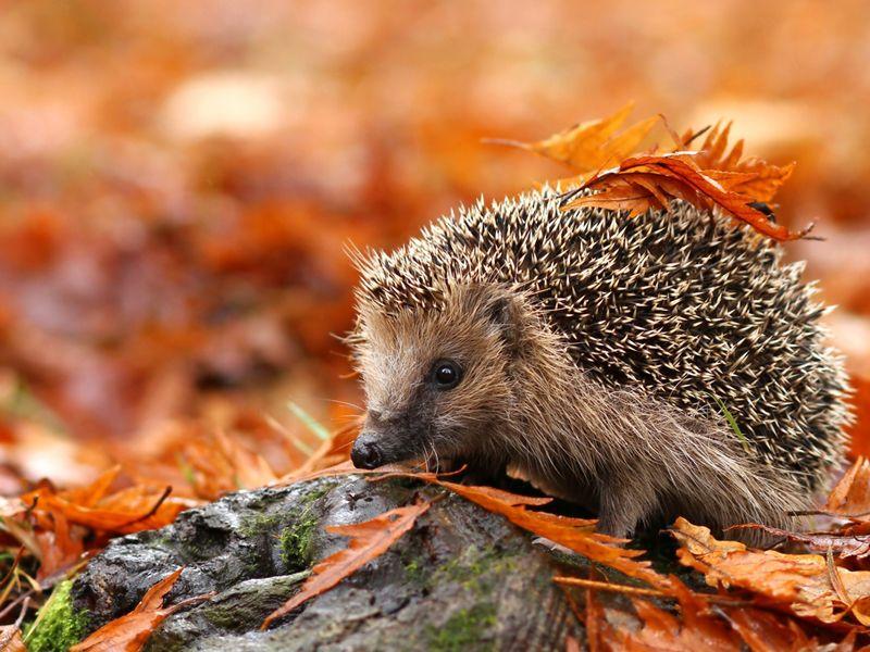 herbst  Googleda Ara    Pinterest  Igel Herbst und Tier