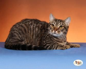 *** ORANGE- SIDE-KICK *** LINUS IS ALITTLE SHY AT FIRST, BUT WARMS RIGHT UP. HE IS INDEPENDENT AND WILL GIVE HIS ATTENTION TO YOU WHEN HE WANTS IT! HE GETS ALONG WITH OTHER CATS WITH PROPER INTRODUCTION. LINUS LOVES TO BE PET AND LOVES ATTENTION! IF...