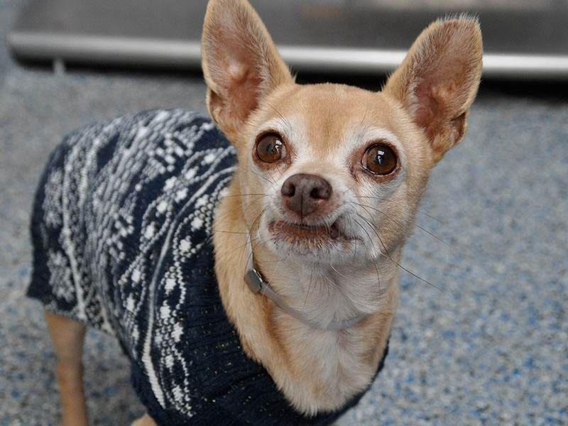 Gayweho Dogs 4 U On Chihuahua Dogs Dogs Chihuahua