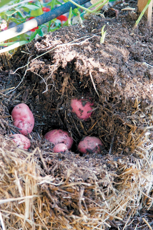 potatoes grow deep inside the straw bale urban gardening