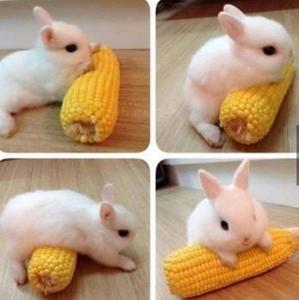 bunny with corn pets domestic animals cute