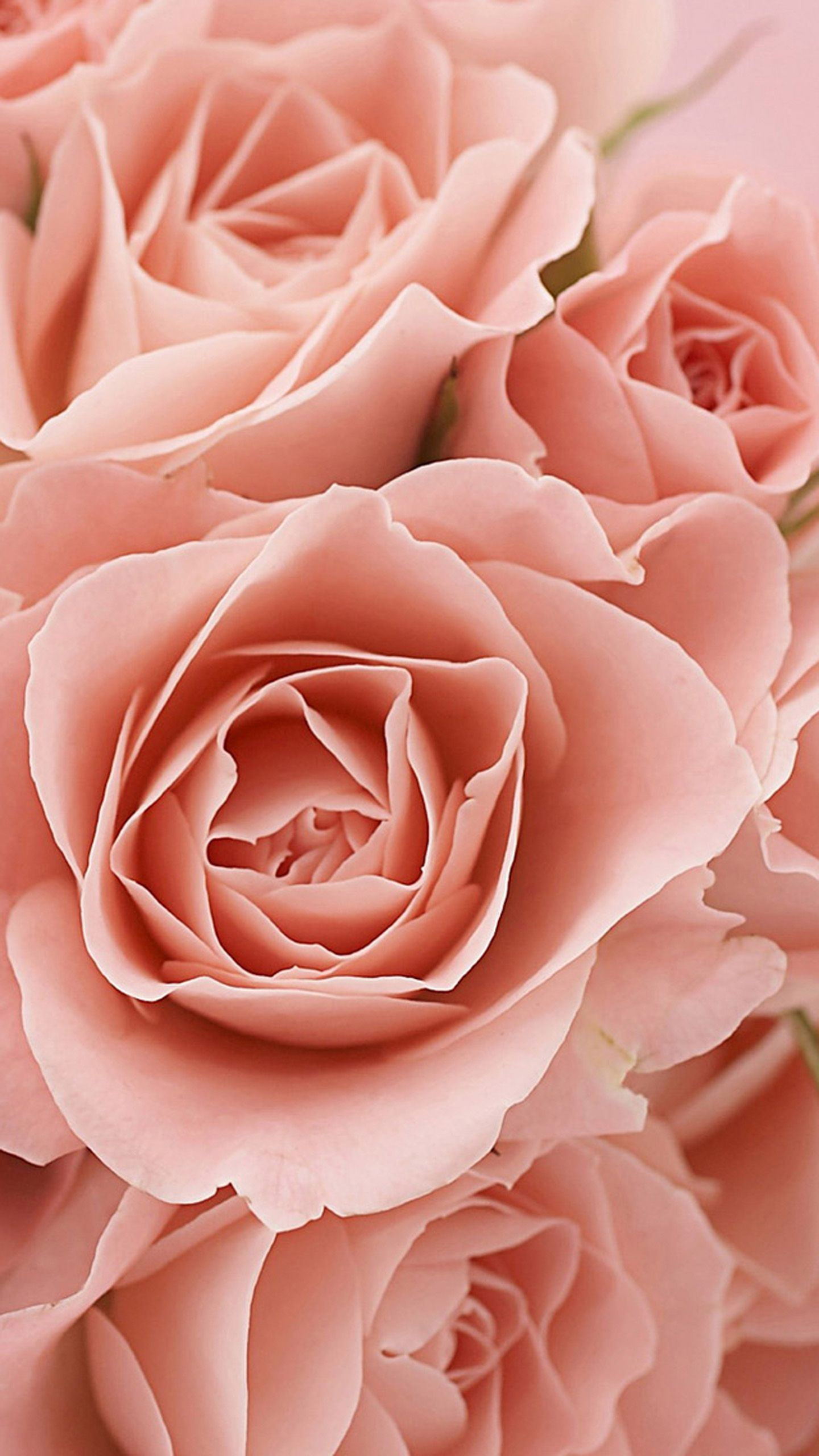 Wallpaper Samsung Galaxy S6 Pink Roses Awesome Jpg 1440 2560 Flower Phone Wallpaper S5 Wallpaper Flowers