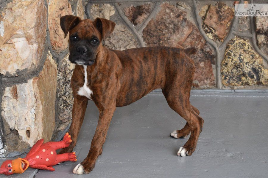 Bella Boxer Puppy For Sale Near Springfield Missouri 78eae7f3