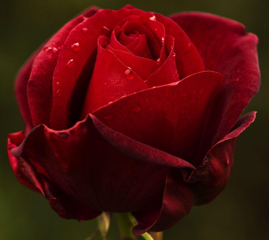 güller roses çiçek resimleri renkli çiçek resimleri çiçek bahçe
