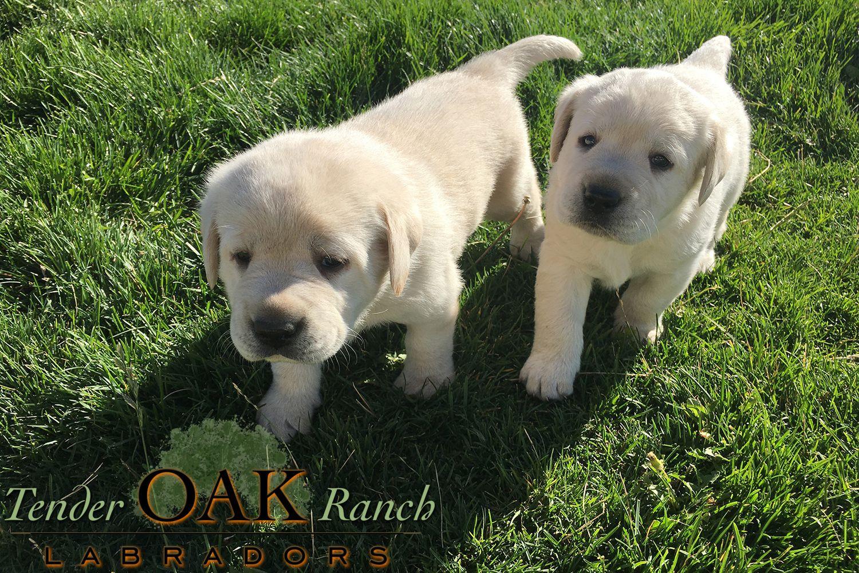 How To Buy A Labrador Retriever Puppy In 2020 Labrador Puppies For Sale Labrador Retriever Labrador Retriever Puppies