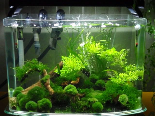 Moss balls for the home pinterest marimo aquariums for Betta fish moss ball