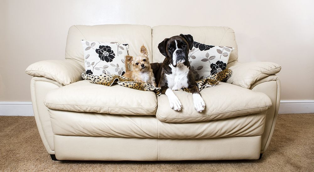 Amy Law Photography - Barnsley - Boxer & Chihuahua on sofa