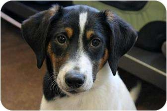 Greater Swiss Mountain Dog Border Collie Mix Border Collie Mix