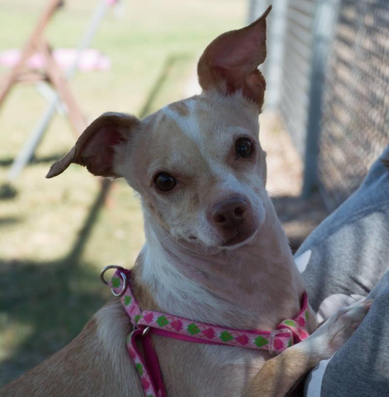 Adopt Daisy on Pets, Chihuahua love, Pet adoption