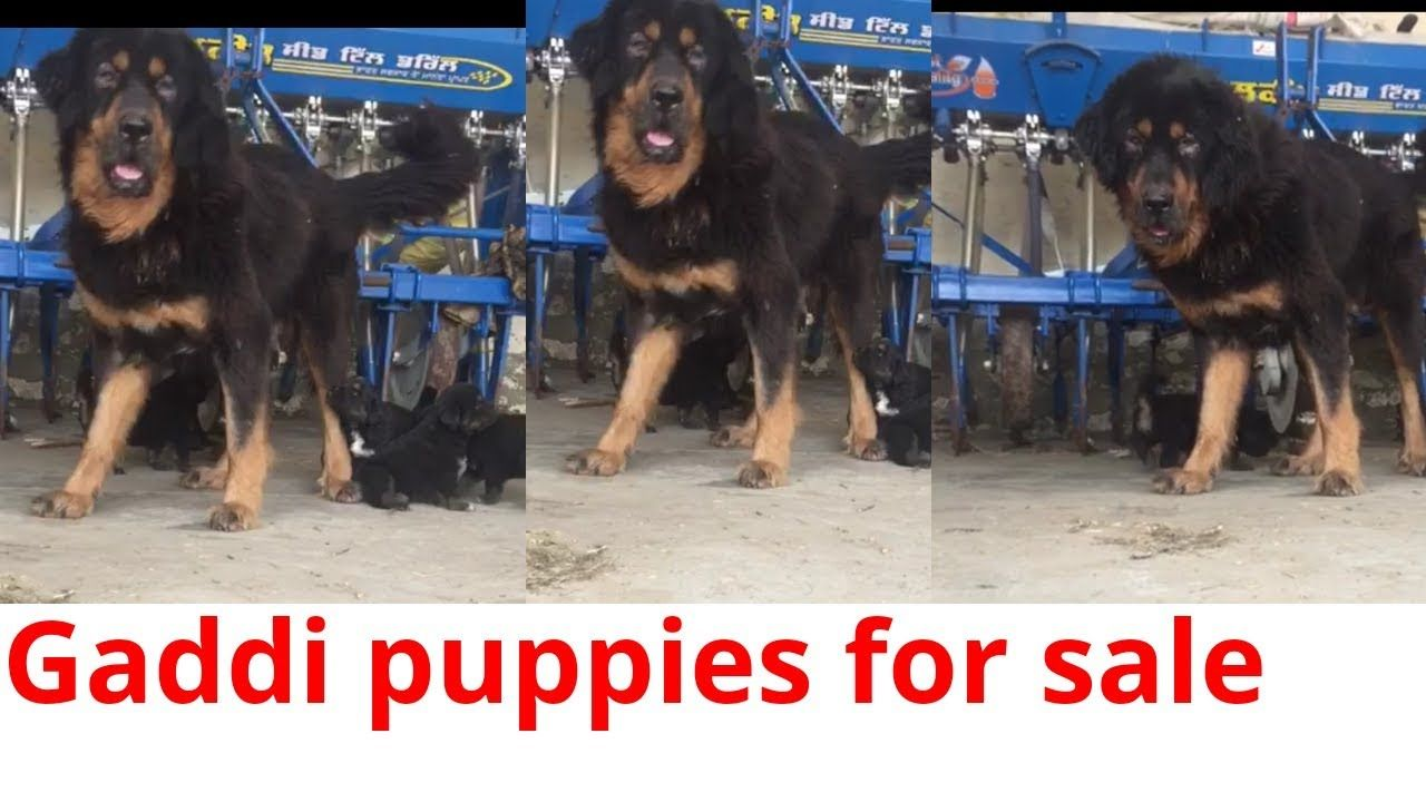 Gaddi dog for sale in punjab 9855584283 | https://houndhaven
