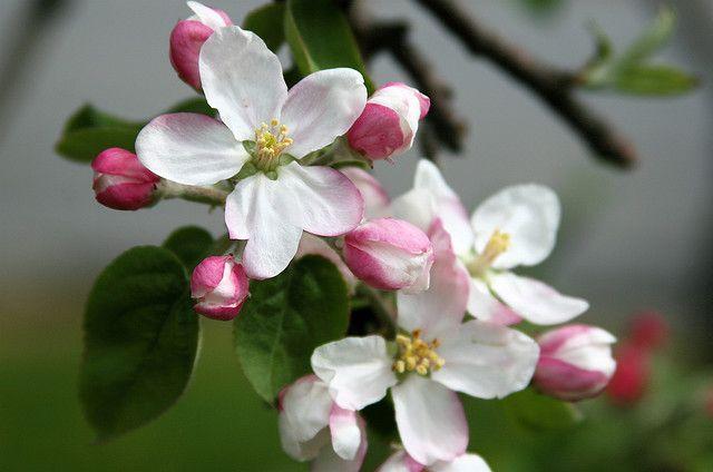 Blossoms 3 Apple Blossom Flower Apple Blossom Cherry Blossom Art