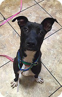 Boxer/Labrador Retriever Mix Dog for adoption in Rochester