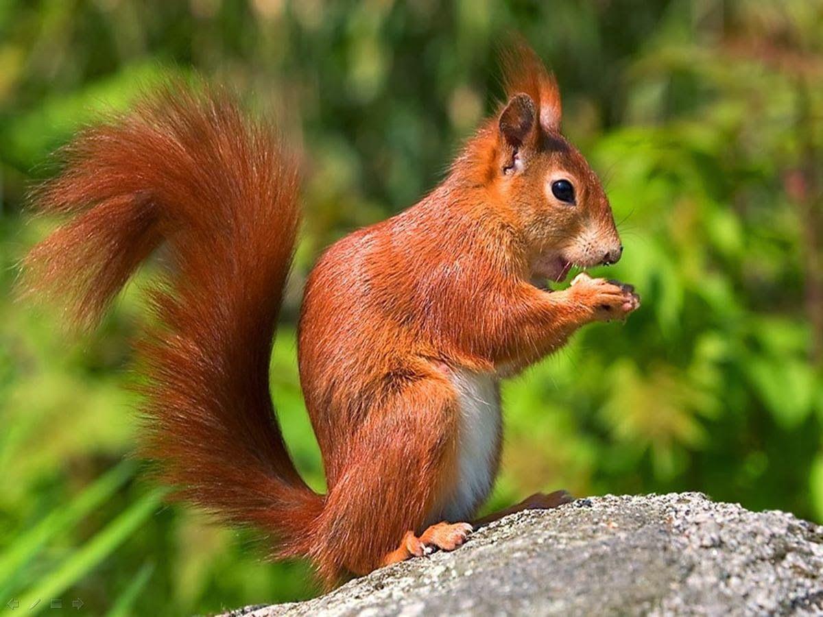 winter red squirrel colibris pinterest red squirrel