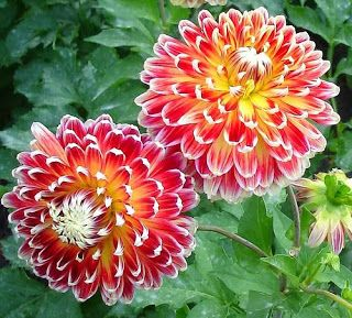 From Mexico Dahlia Quickly Becomes A Admirable Beautiful Flower All Over The World Easy To Grow And Diversify In Form Flowers Dahlia Flower Beautiful Flowers