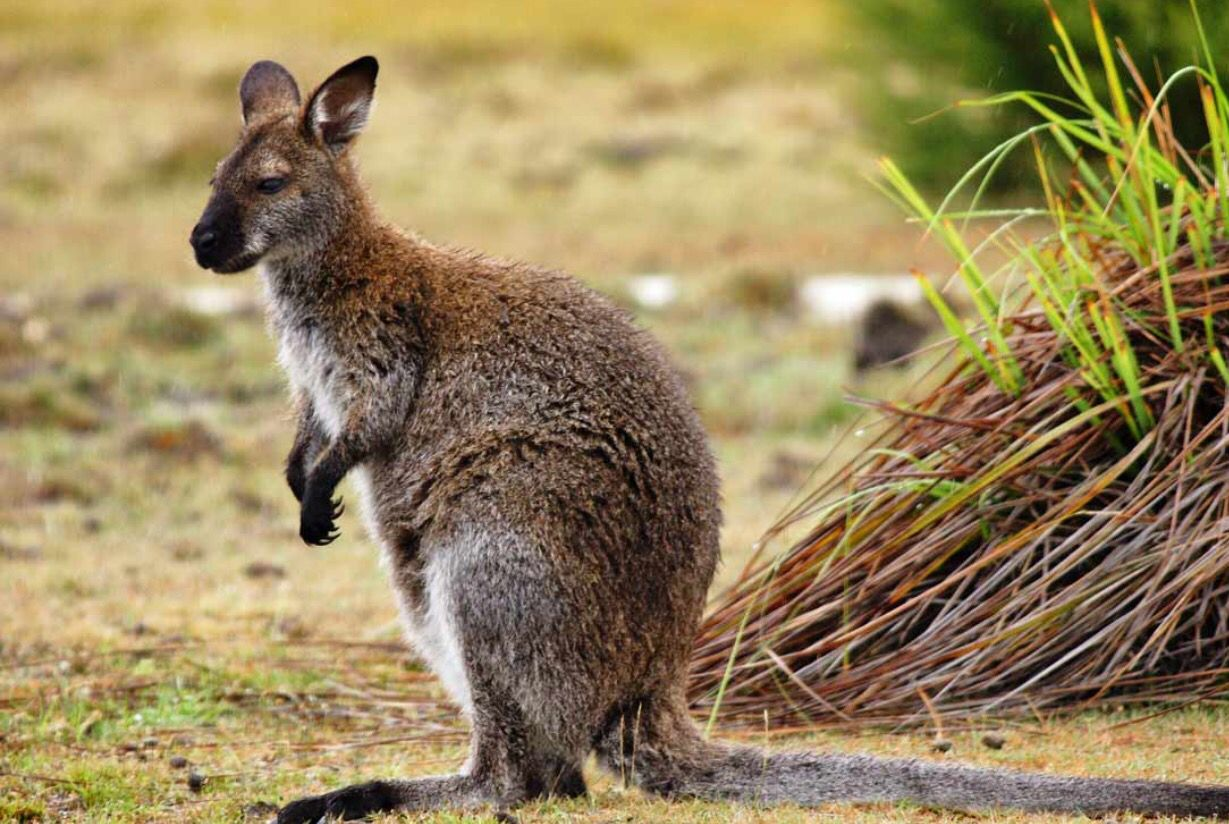 Wallaby (With images) Australia animals, Animals wild