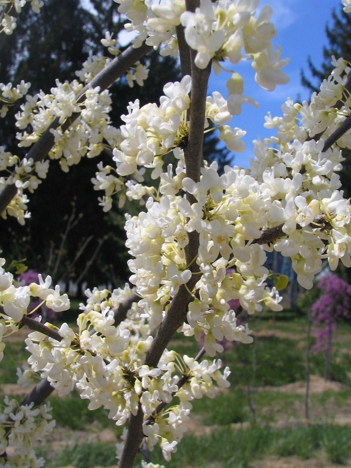 Cercis Canadensis Texas White Marechal Redbud Tree Trees To Plant Elderberry Plant