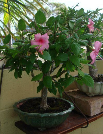 Hibiscus Bonsai Bonsai Garden Hibiscus Bonsai Tree