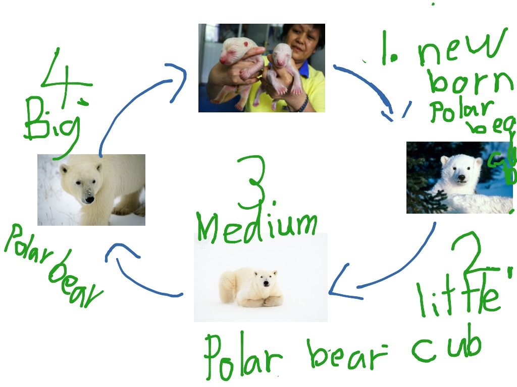 the life of a polar bear Polar bears are aggressive predators, known for taking a variety of prey they spend most of the year associated with arctic sea ice.