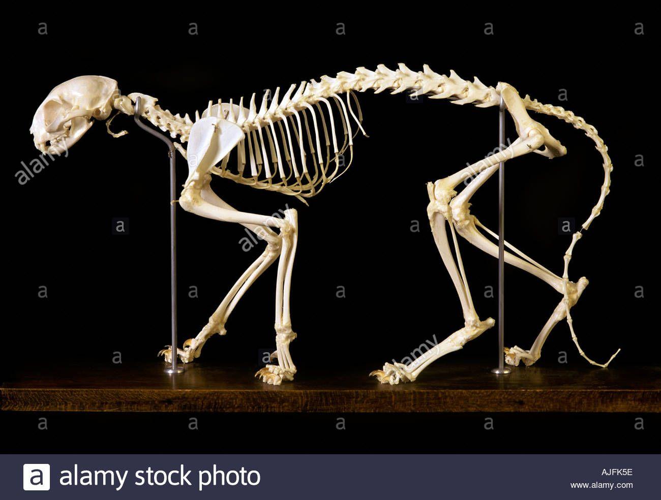 Katze Skelett Felis domestica Stockfoto | ZOO | Pinterest | Zoos