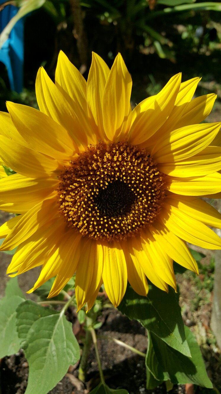 Sunflower Plants Garden Garden Center