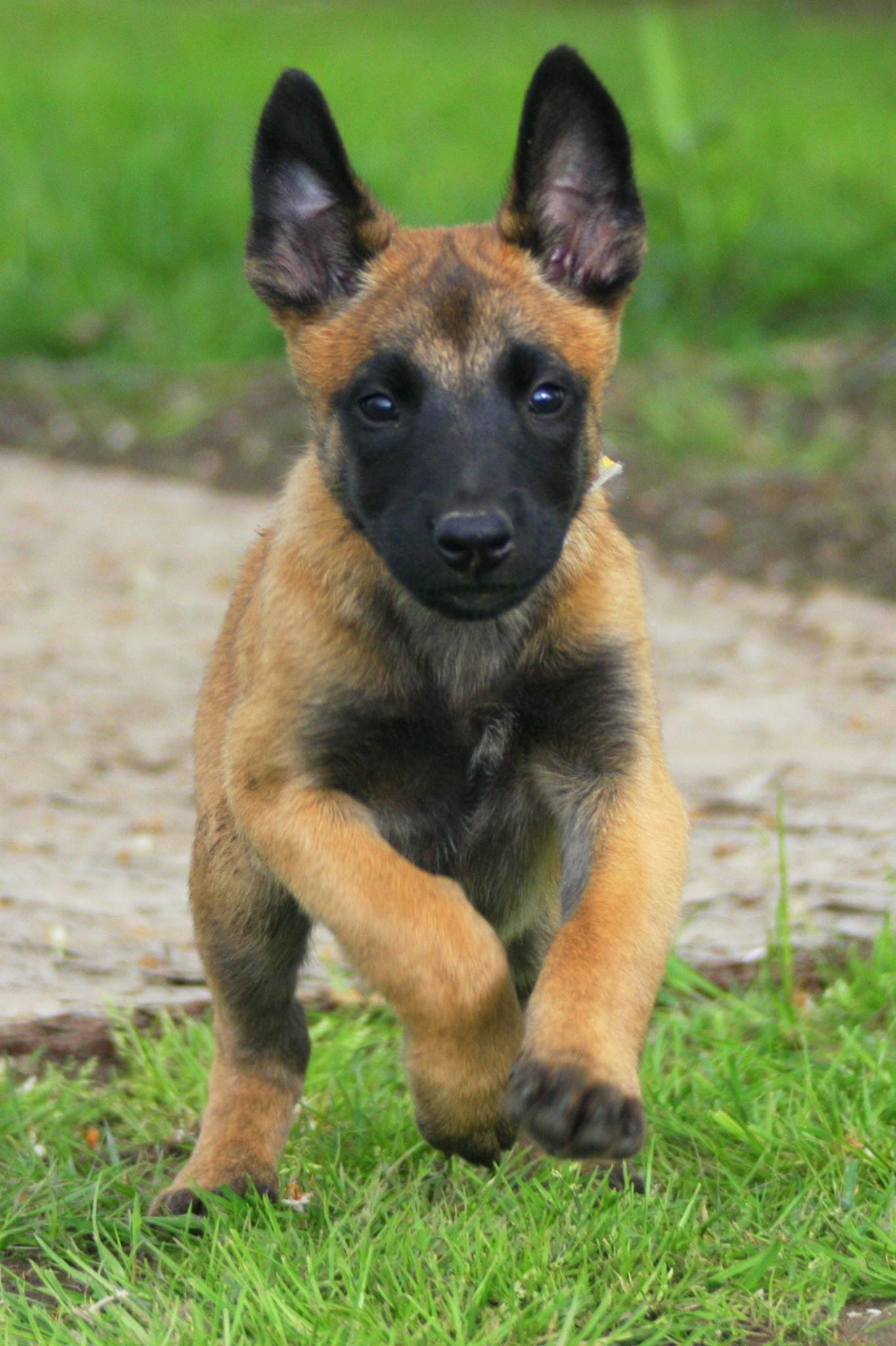 Belgian Malinois pup. This guy is going to be a little