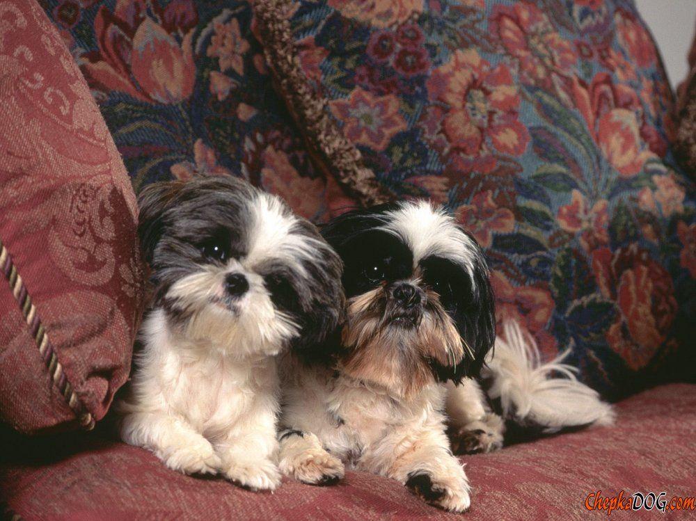 Perros Domesticos De Interior De Diferentes Razas Shih Tzu Dog