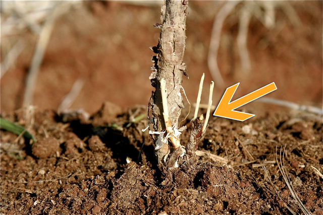 Gardening 101: How To Plant Bare Roots « One Green Generation