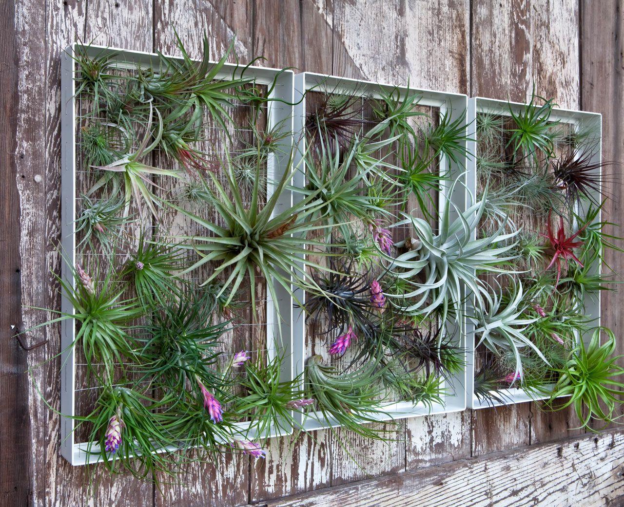 Vertikaler garten alu rahmen zierpflanzen au en airplantman tilandsien garten garten deko - Vertikaler garten innenraum ...