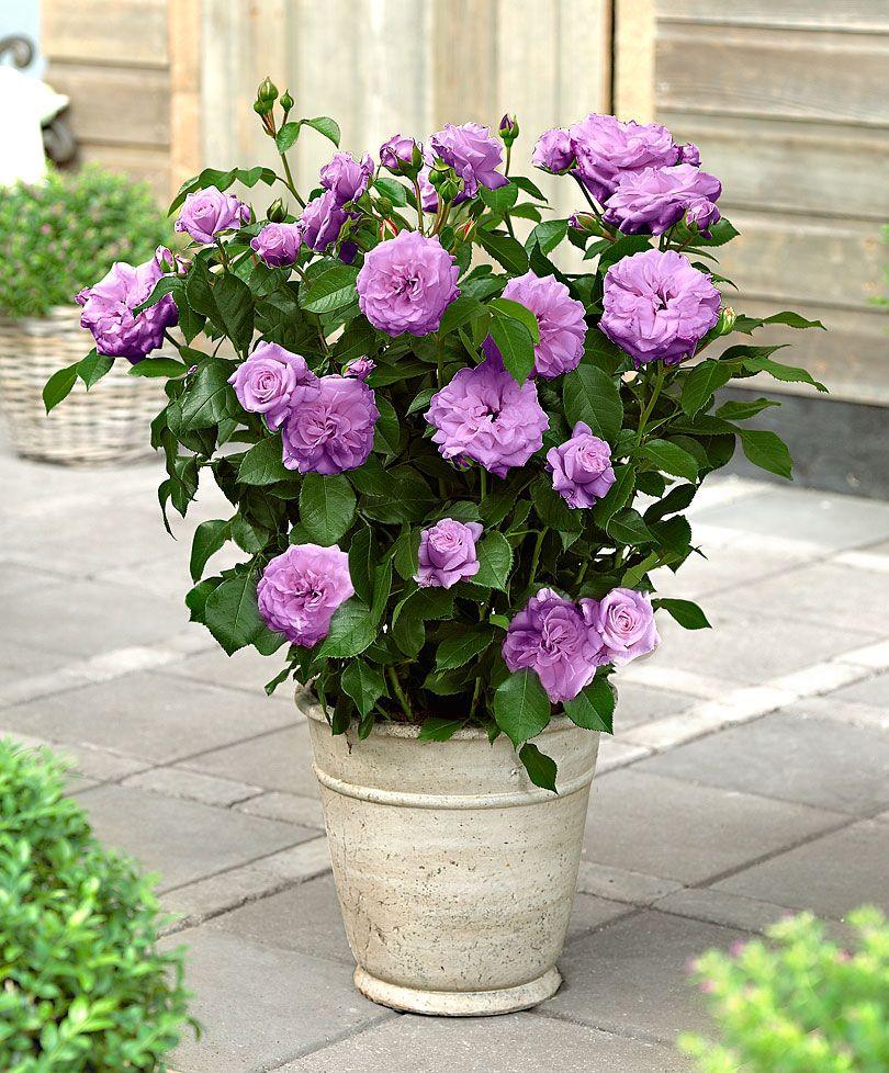 Jy Rosa Saint Exupéry Large Flowered Fragrant Patio Rose Spaldingbulb Co Uk
