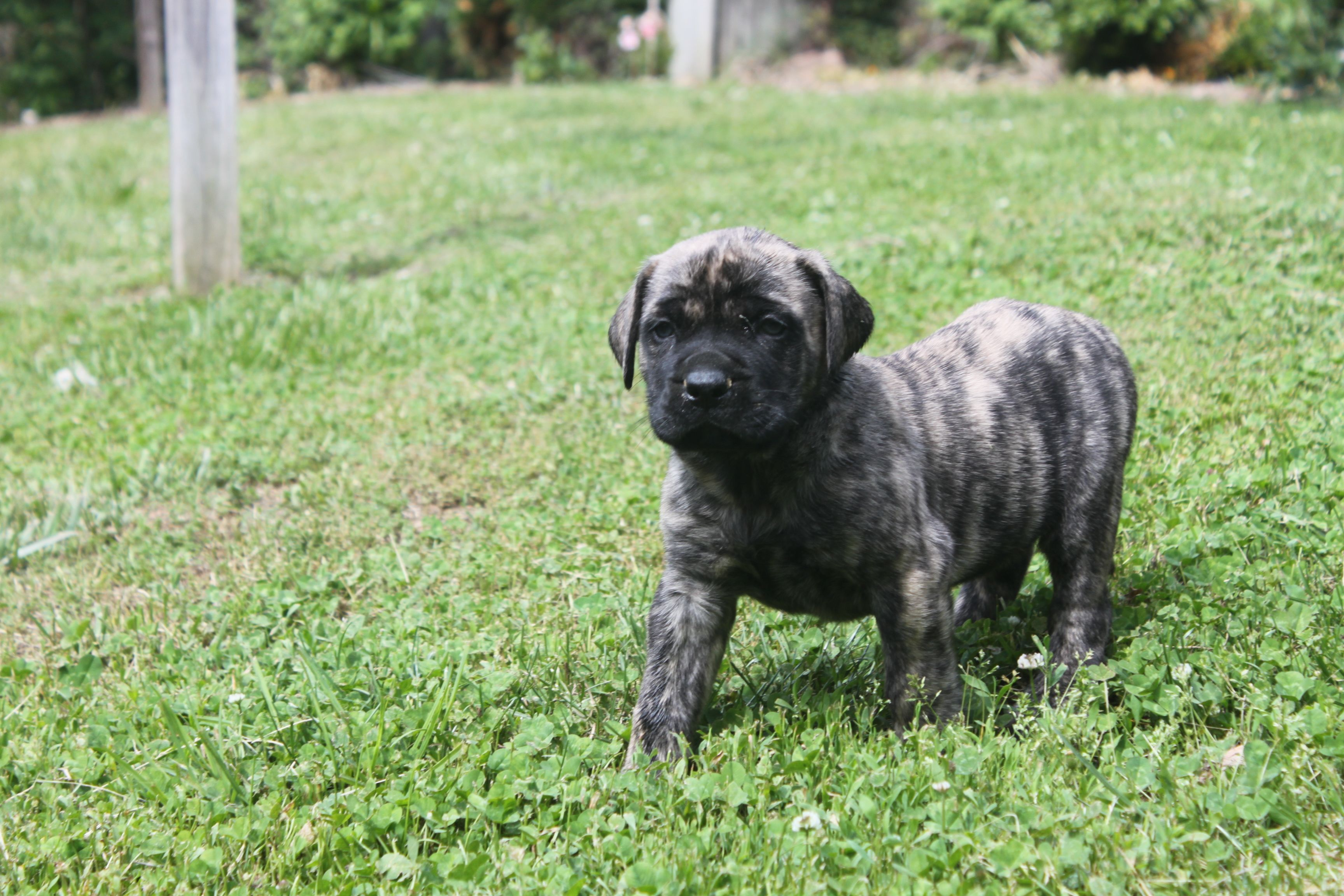 Pin By Cindy On Great Big Dogs Pinterest English Mastiff Puppies