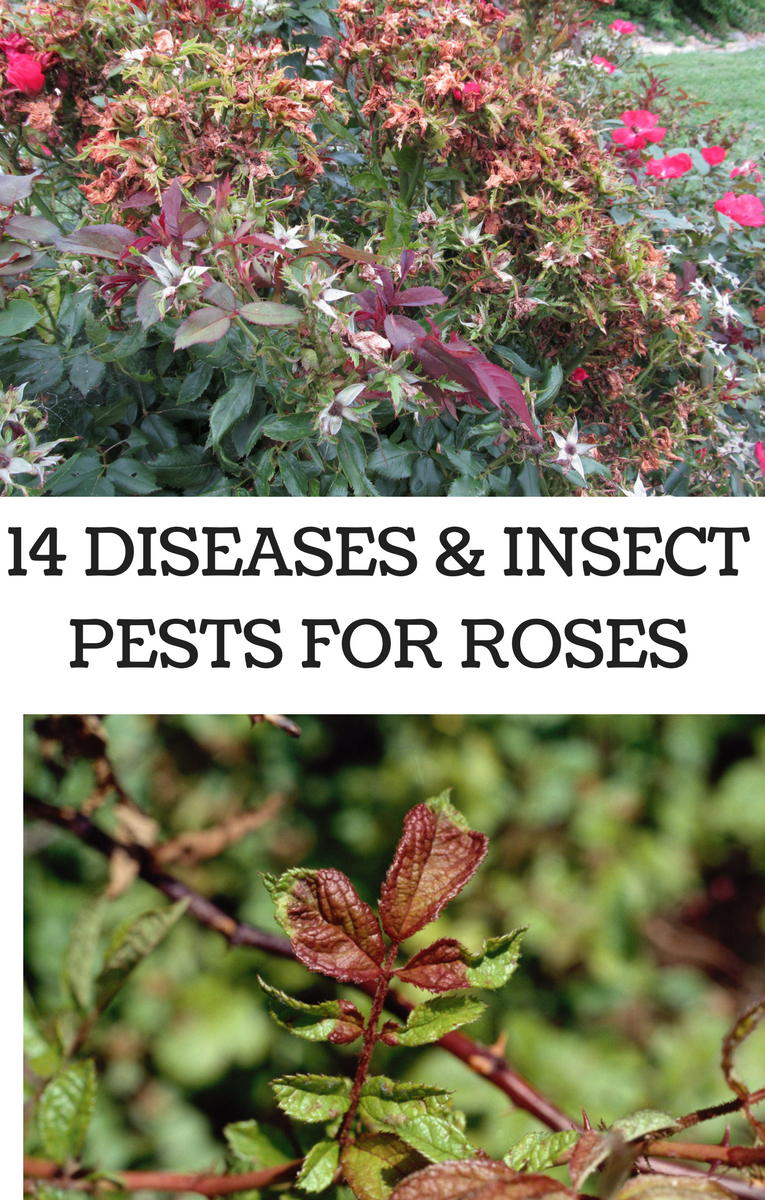 14 Diseases and Insect Pests For Roses Insect pest, Rose