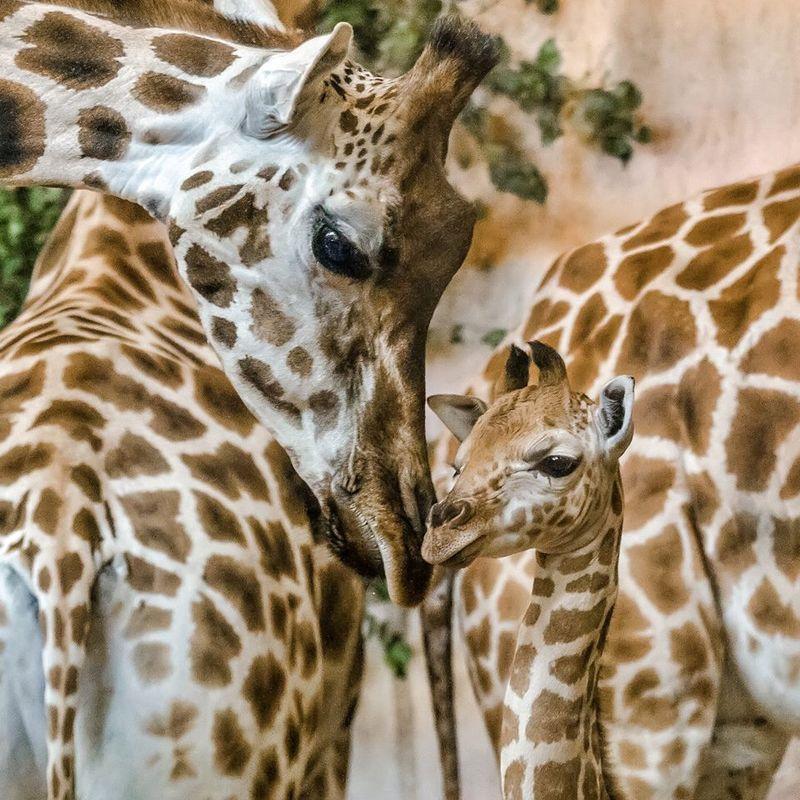 Ik wil een girafje.
