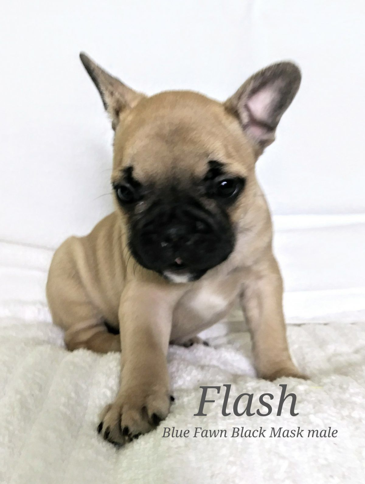 Flash A Male Akc French Bulldog Puppy From Lone Tree Colorado Frenchbulldogs Frenchbulldogpuppy Frenchbulld French Bulldog Puppy Puppies French Bulldog