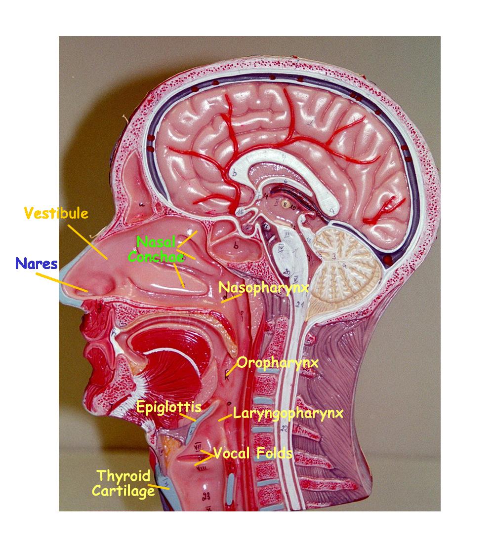 nasal cavity model - Google Search | Anatomy/Physiology | Pinterest ...