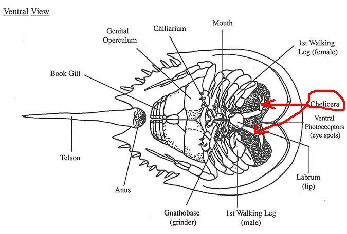 Horseshoe crab anatomy -- identifying parts on the underside of the ...