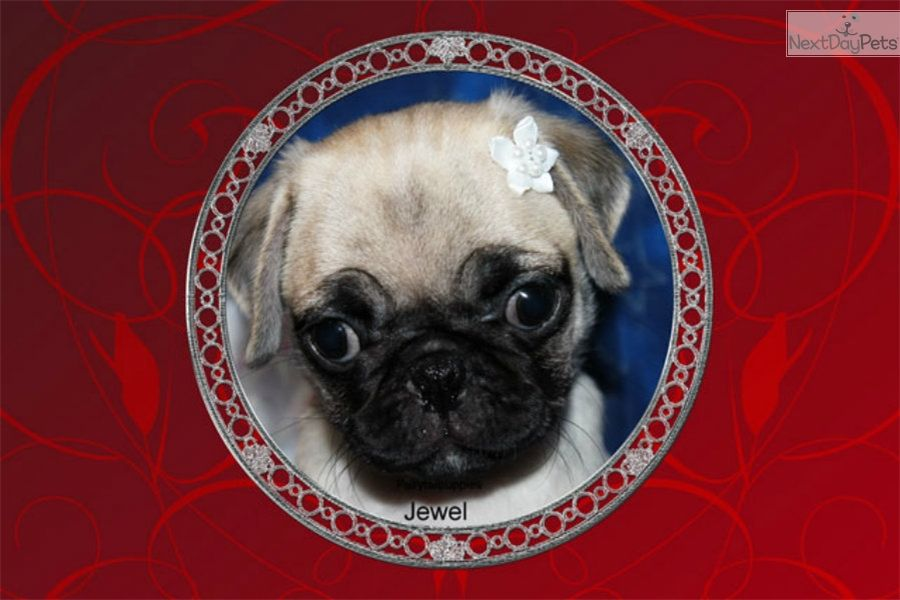 Pug Puppy For Sale Near Mcallen Edinburg Texas E80fe280 8961