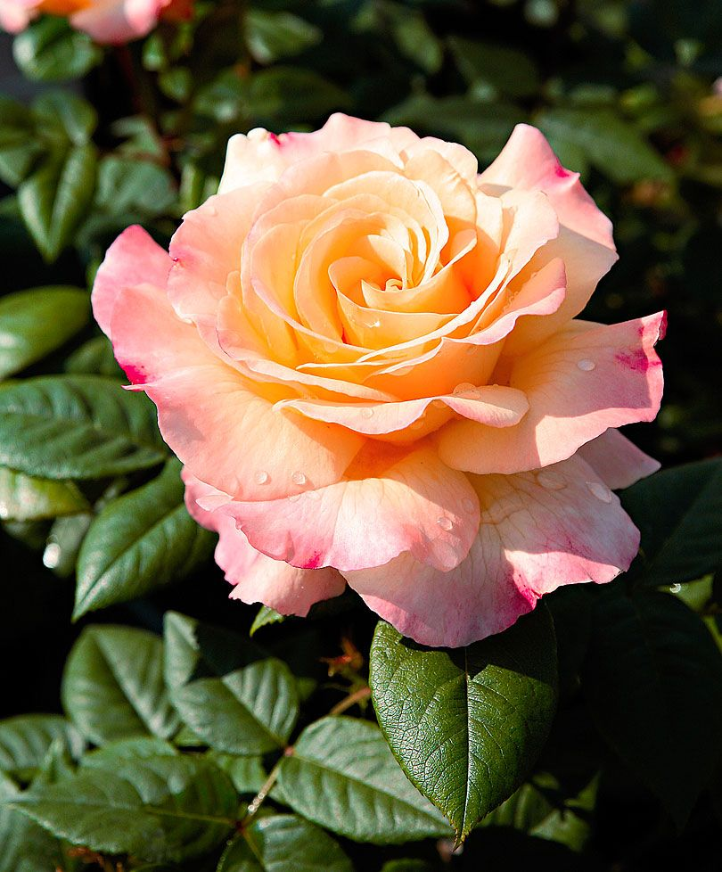 Large Flowered Rose Aquarell Rose The Aquarell Rose Is A Beautiful Double Pink Flower With Gorgeous Glossy Le Hybrid Tea Roses Tea Roses Rose Varieties
