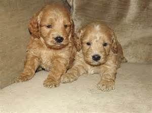 Golden Cockapoo Images Pictures Cockapoo Cockapoo Puppies Puppies
