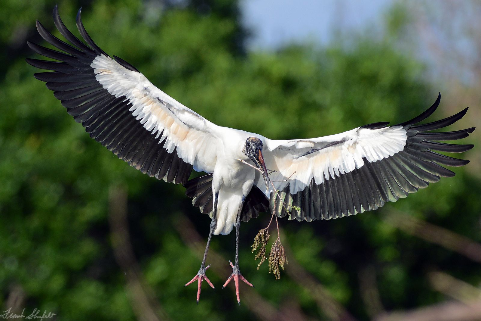 It\'s Nesting Season in South Florida, USA. | Florida georgia and Bird
