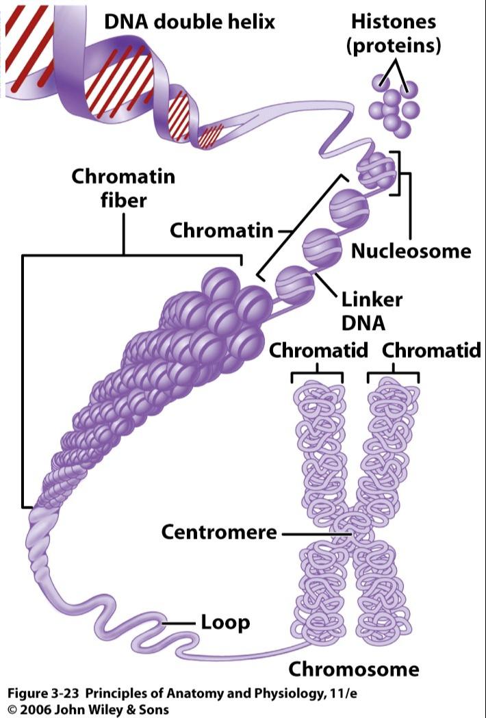 Chromosomes Chromatin Google Search Med Pinterest Biology