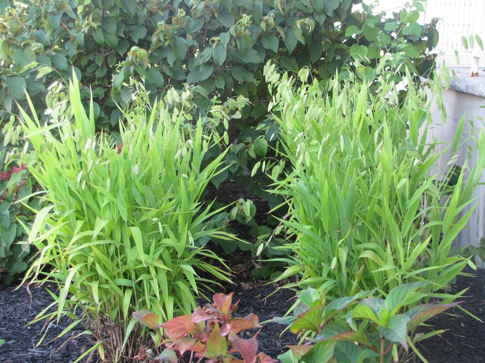 Northern sea oats zone 4 9 partial sun fast growing for Fast growing tall grass