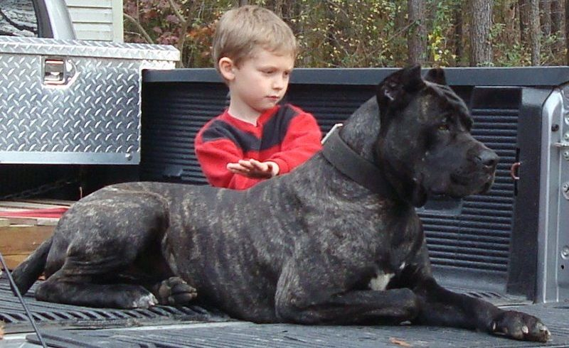 American Sentinel K9 The Most Performance Proven Bandog In