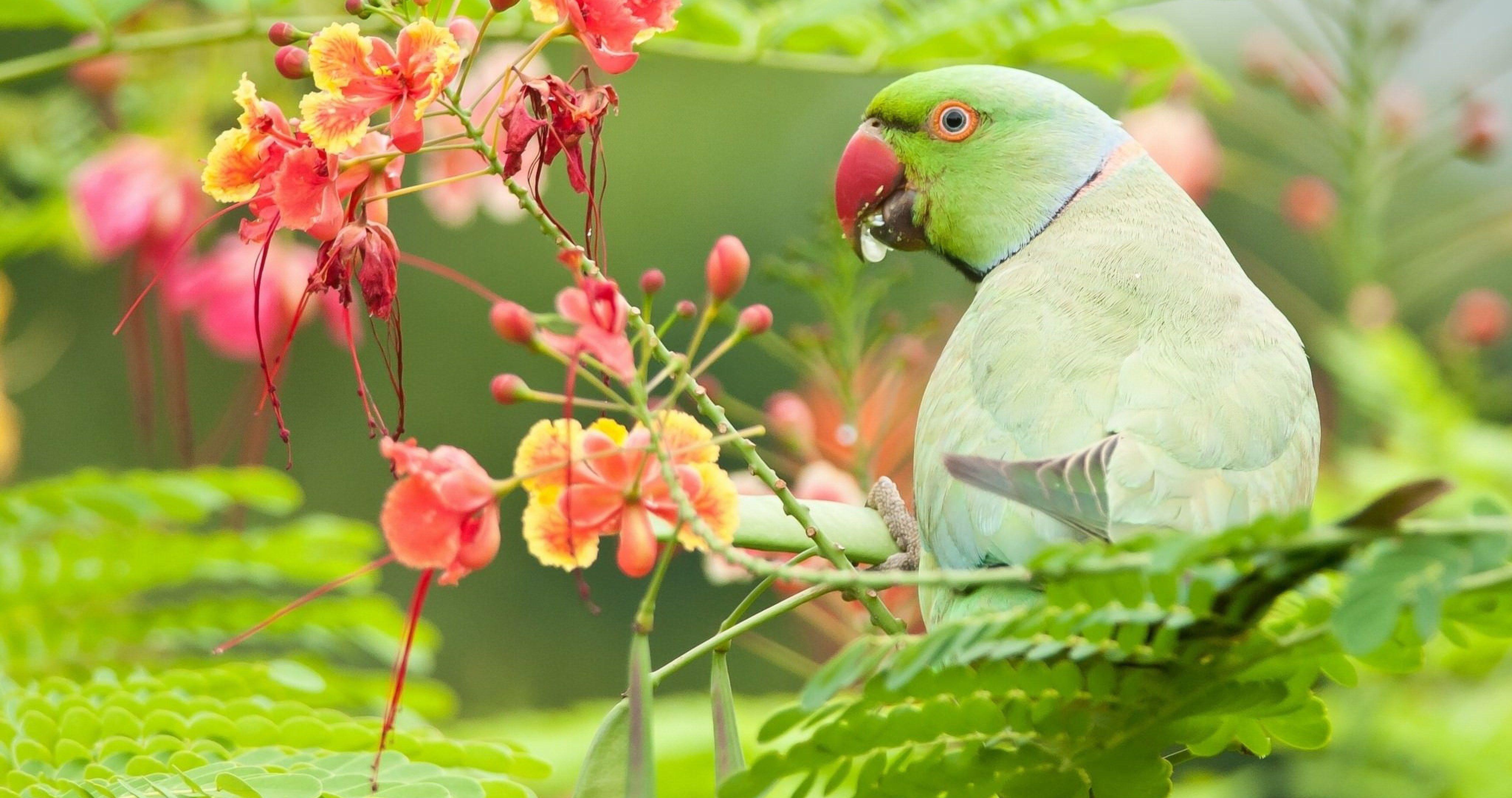 indian ringed parrot 4k ultra hd wallpaper   Adobe