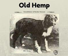 Old Hemp Grandfather Of Border Collies Collie Border Collie
