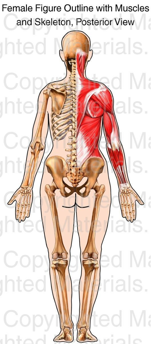 This stock medical exhibit depicts a posterior view of a female ...